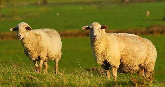 قیمت گوسفند زنده نژاد سنگسری خرید دام زنده برای کشتار