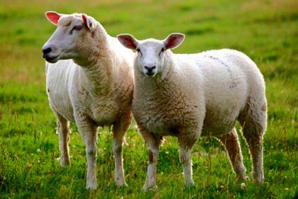 ثبت سفارش براي خريد گوسفند در وب سايت دامكالا راحت است