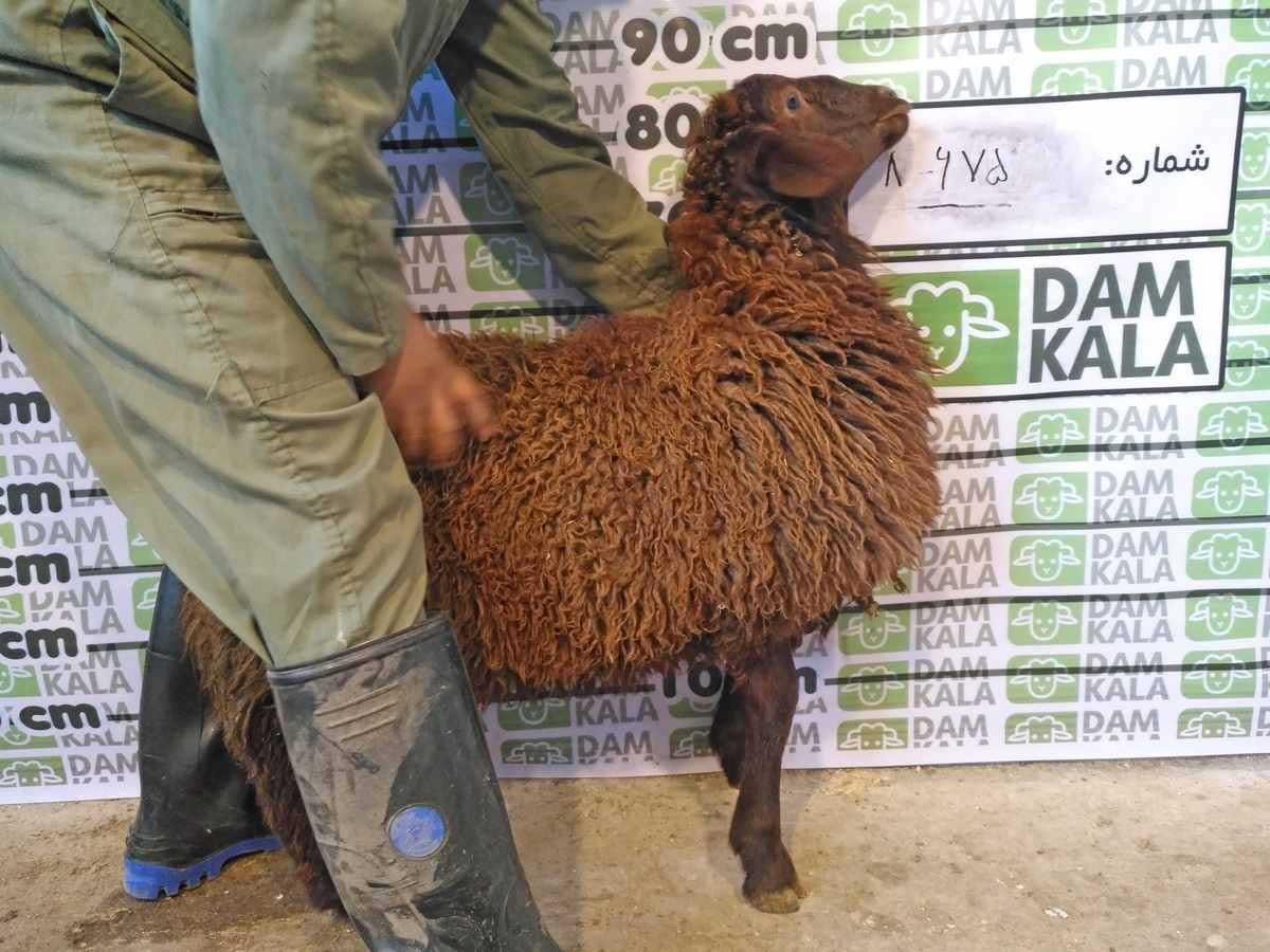 مي توانيد گوسفند مورد نظر خود را از وب سايت دامكالا سفارش دهيد