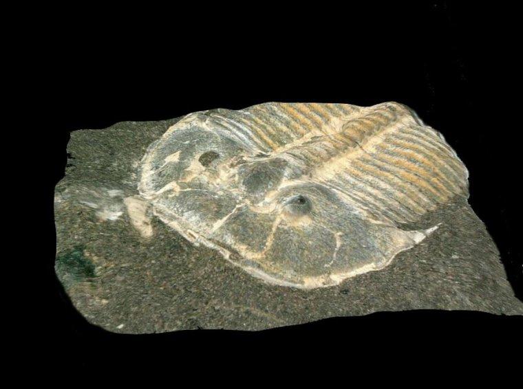 فسیل شگفتانگیزی که از چشمهای تریلوبیت ۴۲۹ میلیون سالهای محافظت کردهاست