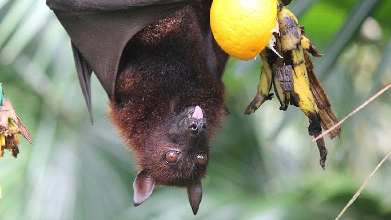 خفاش میوه خوار